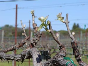 Spring at Sky Pine Vineyards