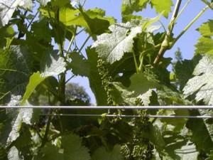 Spring at Sky Pine Vineyards