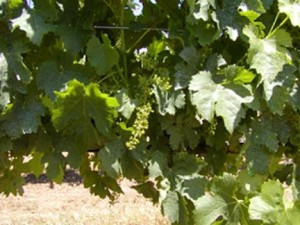 Summer at Sky Pine Vineyards